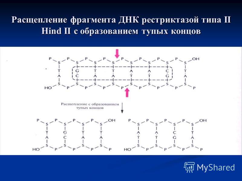 Расщепление фрагмента ДНК рестриктазой типа II Hind II с образованием тупых концов