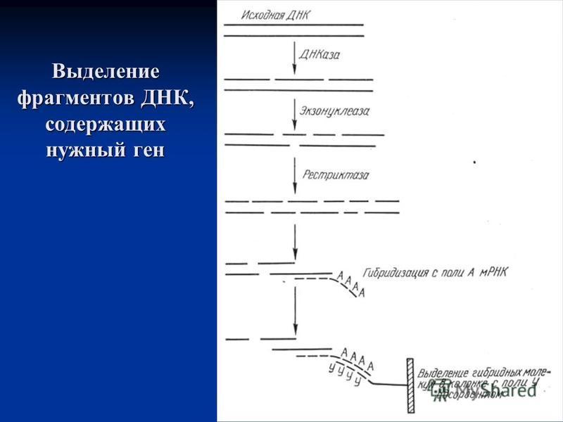Выделение фрагментов ДНК, содержащих нужный ген