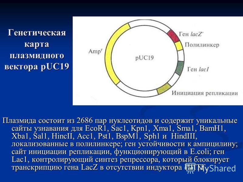 Генетическая карта плазмидного вектора pUC19 Плазмида состоит из 2686 пар нуклеотидов и содержит уникальные сайты узнавания для EcoR1, Sac1, Kpn1, Xma1, Sma1, BamH1, Xba1, Sal1, HincII, Acc1, Pst1, BspM1, Sph1 и HindIII, локализованные в полилинкере;