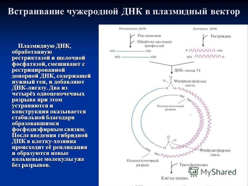 Встраивание чужеродной ДНК в плазмидный вектор Плазмидную ДНК, обработанную рестриктазой и щелочной фосфатазой, смешивают с рестрицированной донорной ДНК, содержащей нужный ген, и добавляют ДНК-лигазу. Два из четырёх одноцепочечных разрыва при этом у