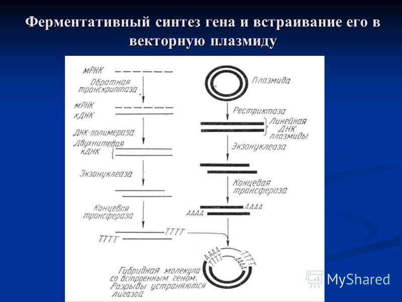 Ферментативный синтез гена и встраивание его в векторную плазмиду