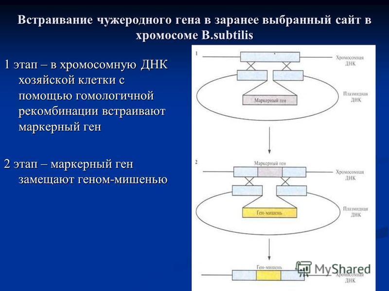 Встраивание чужеродного гена в заранее выбранный сайт в хромосоме B.subtilis 1 этап – в хромосомную ДНК хозяйской клетки с помощью гомологичной рекомбинации встраивают маркерный ген 2 этап – маркерный ген замещают геном-мишенью