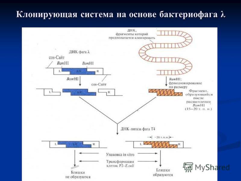 Клонирующая система на основе бактериофага λ
