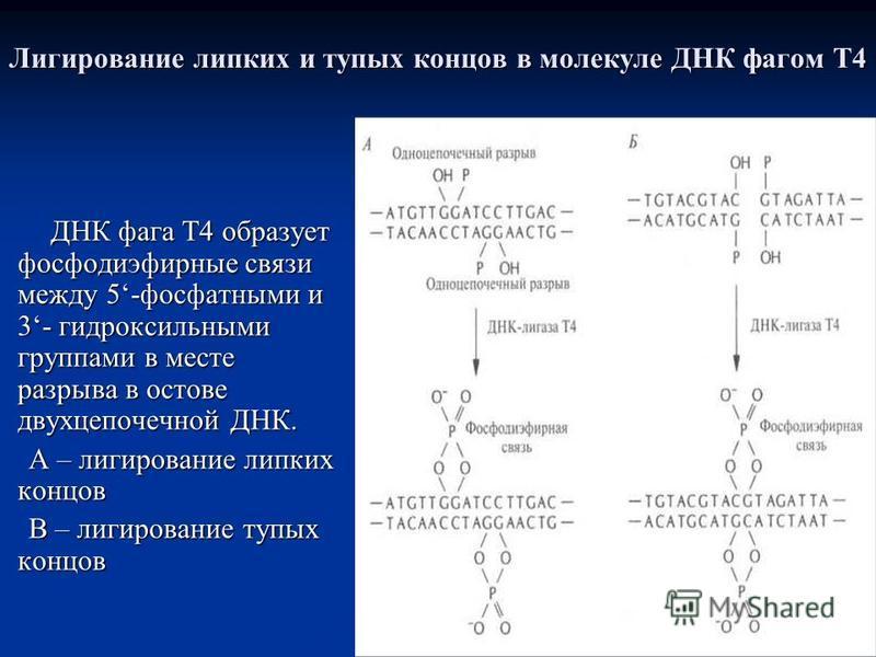 Лигирование липких и тупых концов в молекуле ДНК фагом Т4 ДНК фага Т4 образует фосфодиэфирные связи между 5-фосфатными и 3- гидроксильными группами в месте разрыва в остове двухцепочечной ДНК. А – лигирование липких концов В – лигирование тупых концо