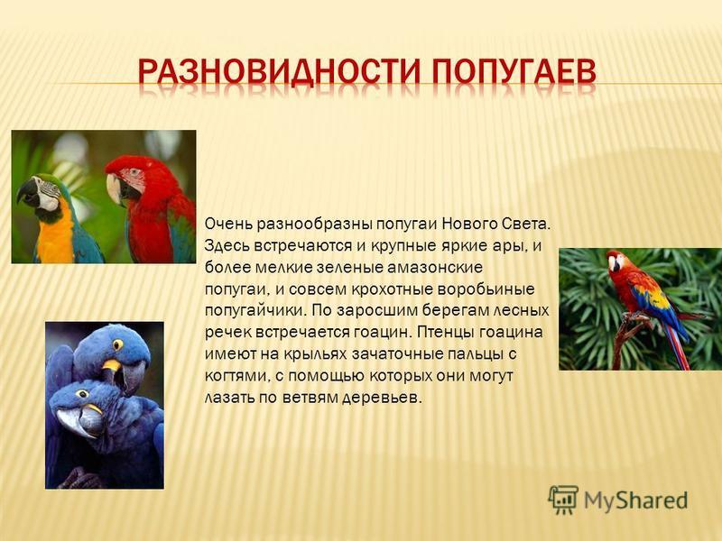 Очень разнообразны попугаи Нового Света. Здесь встречаются и крупные яркие ары, и более мелкие зеленые амазонские попугаи, и совсем крохотные воробьиные попугайчики. По заросшим берегам лесных речек встречается гоацин. Птенцы гоацина имеют на крыльях