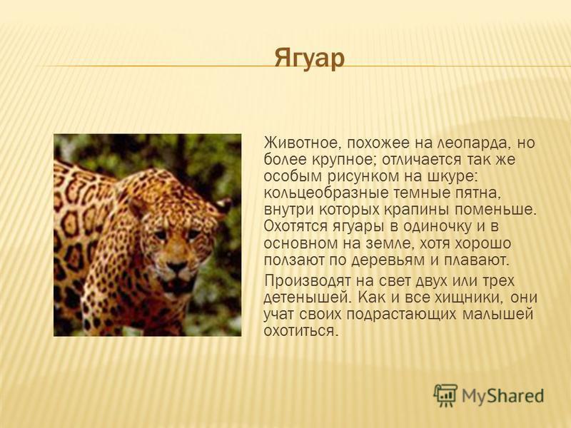 Ягуар Животное, похожее на леопарда, но более крупное; отличается так же особым рисунком на шкуре: кольцеобразные темные пятна, внутри которых крапины поменьше. Охотятся ягуары в одиночку и в основном на земле, хотя хорошо ползают по деревьям и плава