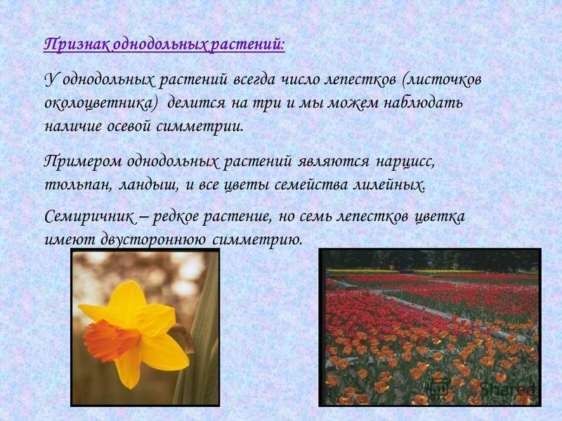 Признак однодольных растений: У однодольных растений всегда число лепестков (листочков околоцветника) делится на три и мы можем наблюдать наличие осевой симметрии. Примером однодольных растений являются нарцисс, тюльпан, ландыш, и все цветы семейства