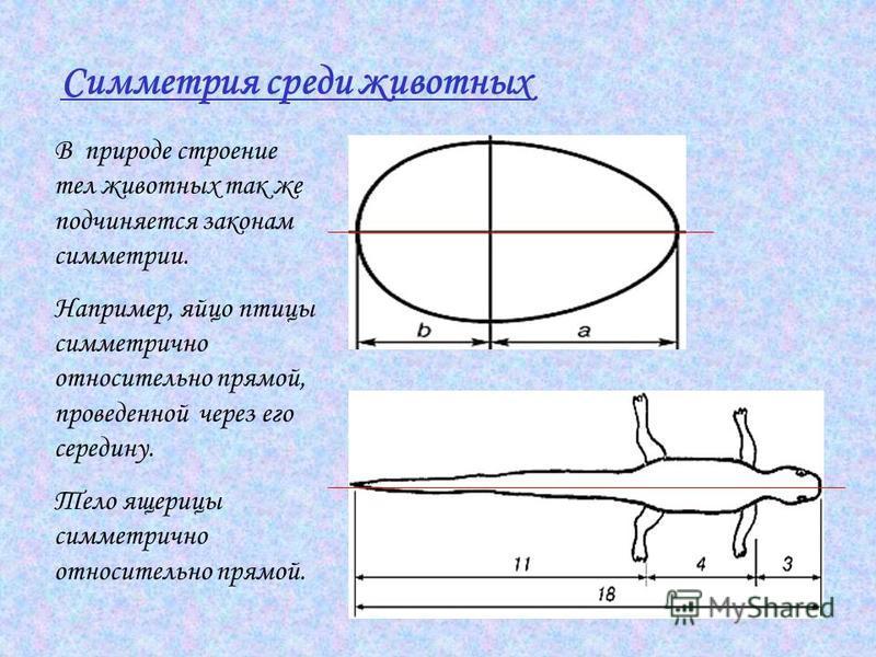 Симметрия среди животных В природе строение тел животных так же подчиняется законам симметрии. Например, яйцо птицы симметрично относительно прямой, проведенной через его середину. Тело ящерицы симметрично относительно прямой.