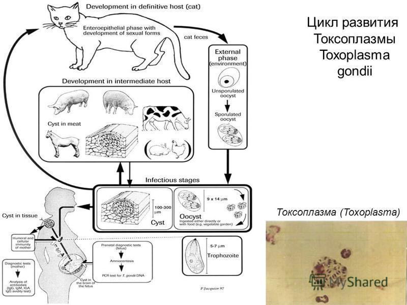 Цикл развития Токсоплазмы Toxoplasma gondii Токсоплазма (Toxoplasma)