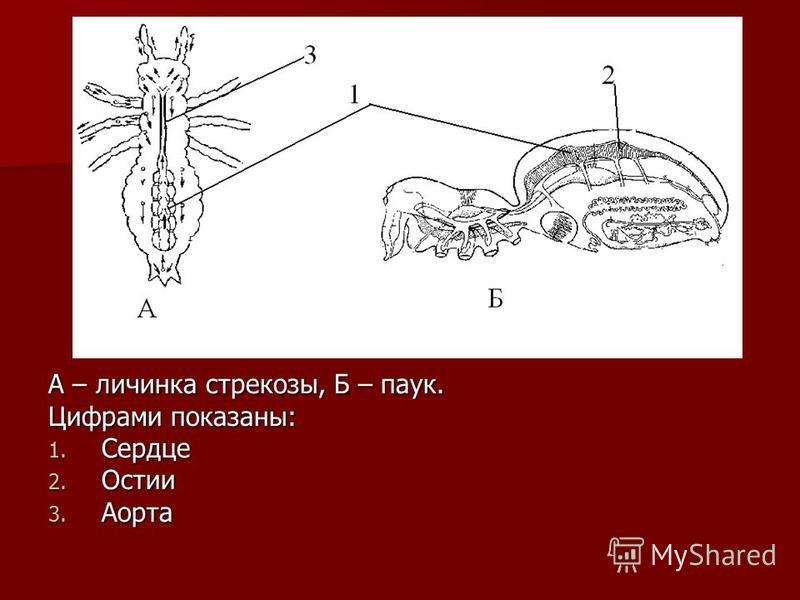 А – личинка стрекозы, Б – паук. Цифрами показаны: 1. Сердце 2. Остии 3. Аорта