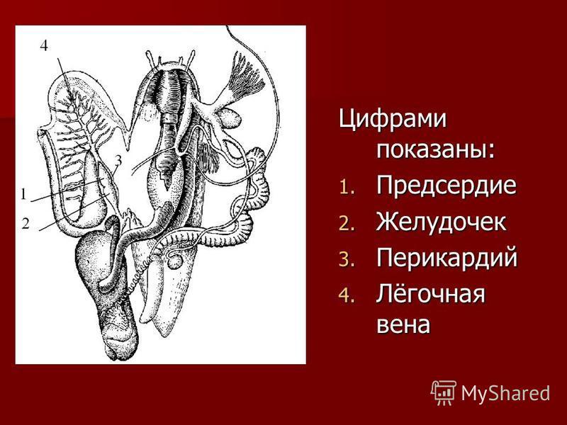 Цифрами показаны: 1. Предсердие 2. Желудочек 3. Перикардий 4. Лёгочная вена