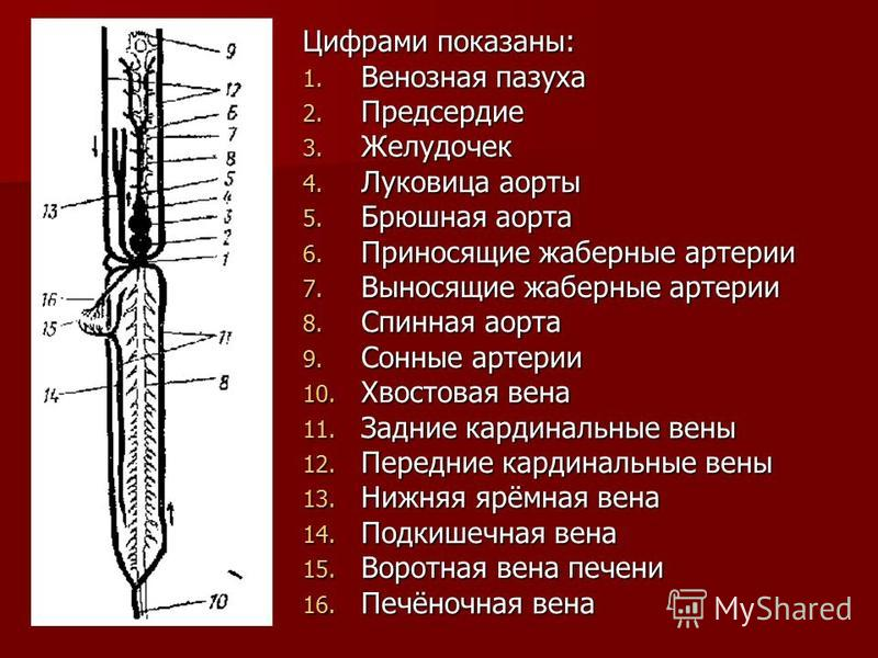 Цифрами показаны: 1. Венозная пазуха 2. Предсердие 3. Желудочек 4. Луковица аорты 5. Брюшная аорта 6. Приносящие жаберные артерии 7. Выносящие жаберные артерии 8. Спинная аорта 9. Сонные артерии 10. Хвостовая вена 11. Задние кардинальные вены 12. Пер