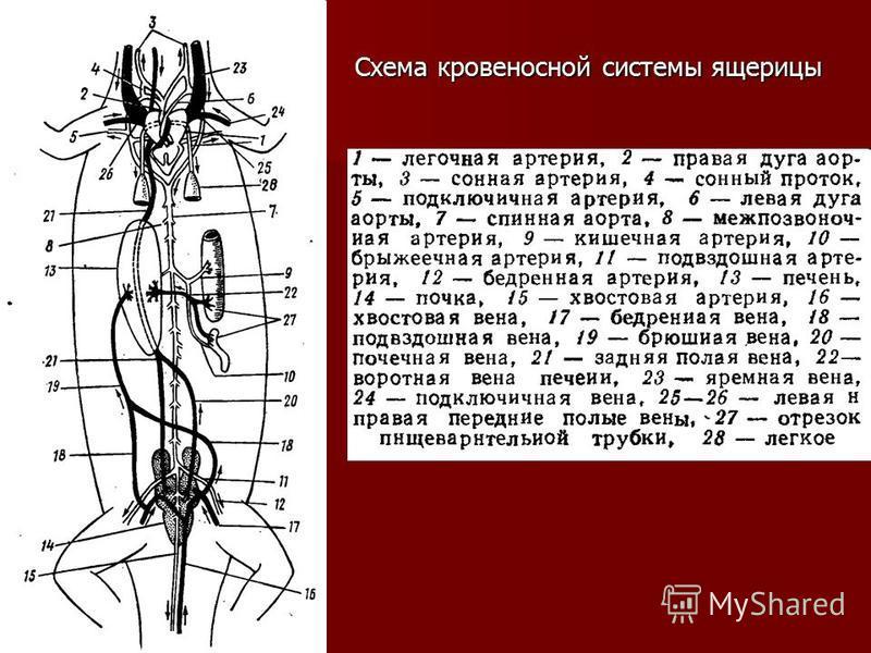 Схема кровеносной системы ящерицы