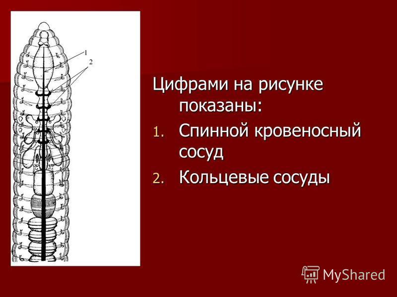 Цифрами на рисунке показаны: 1. Спинной кровеносный сосуд 2. Кольцевые сосуды
