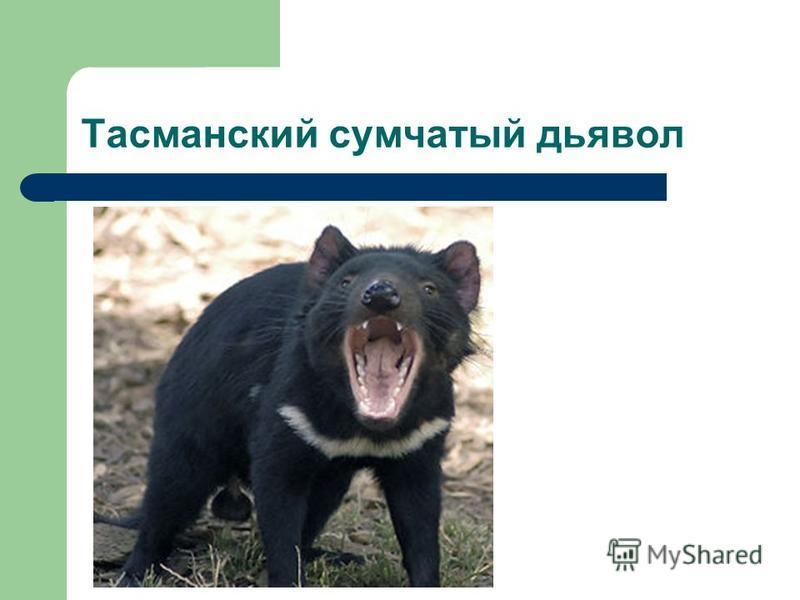 Тасманский сумчатый дьявол