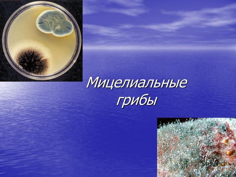 Мицелиальные грибы