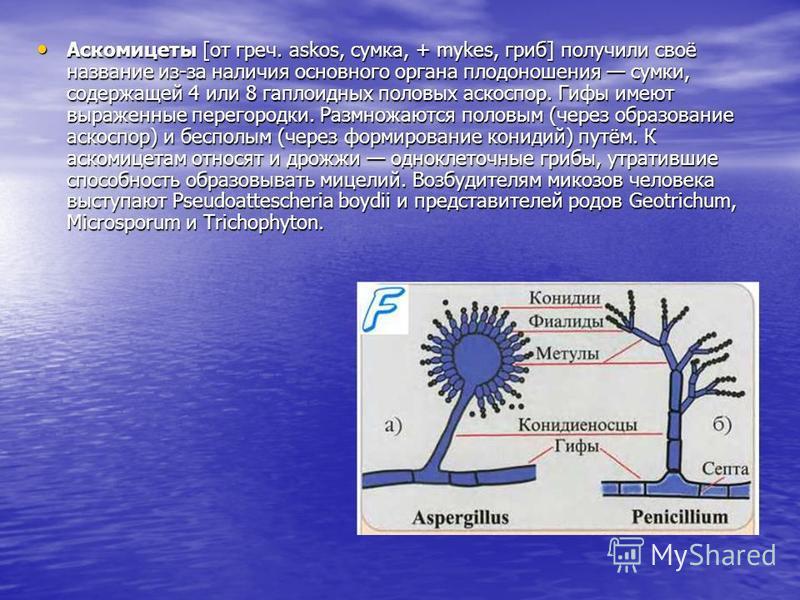 Аскомицеты [от греч. askos, сумка, + mykes, гриб] получили своё название из-за наличия основного органа плодоношения сумки, содержащей 4 или 8 гаплоидных половых аскоспор. Гифы имеют выраженные перегородки. Размножаются половым (через образование аск