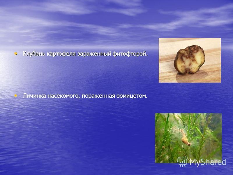 Клубень картофеля зараженный фитофторой. Клубень картофеля зараженный фитофторой. Личинка насекомого, пораженная оомицетом.