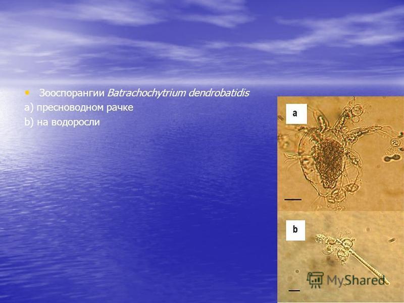 Зооспорангии Batrachochytrium dendrobatidis а) пресноводном рачке b) на водоросли