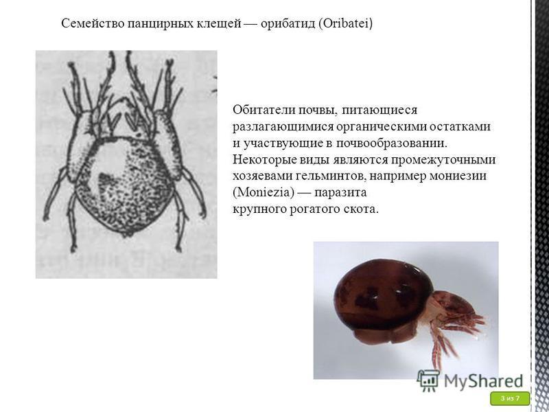 Семейство панцирных клещей орибатид (Oribatei ) Обитатели почвы, питающиеся разлагающимися органическими остатками и участвующие в почвообразовании. Некоторые виды являются промежуточными хозяевами гельминтов, например мониезии (Moniezia) паразита кр