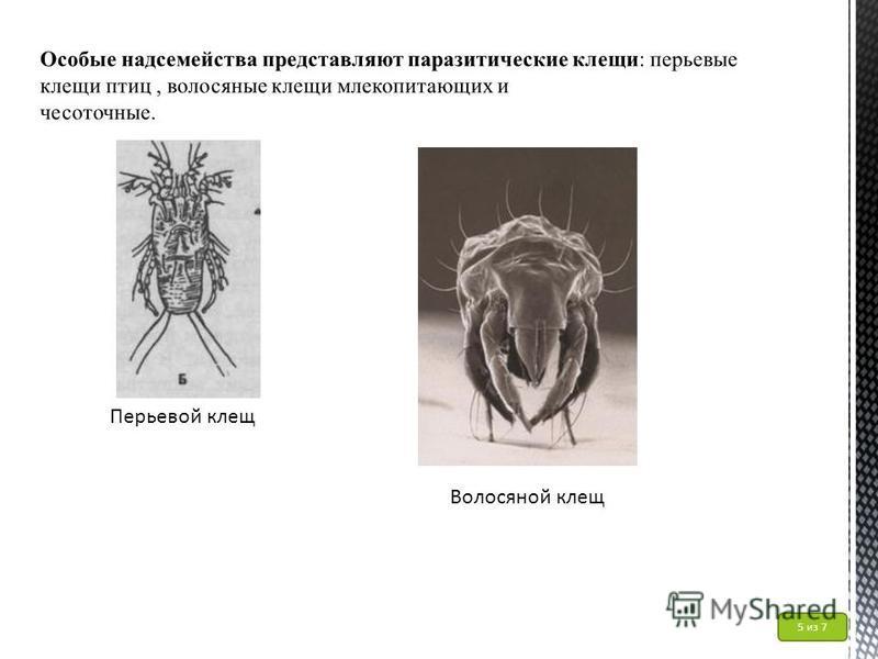 Перьевой клещ Волосяной клещ 5 из 7