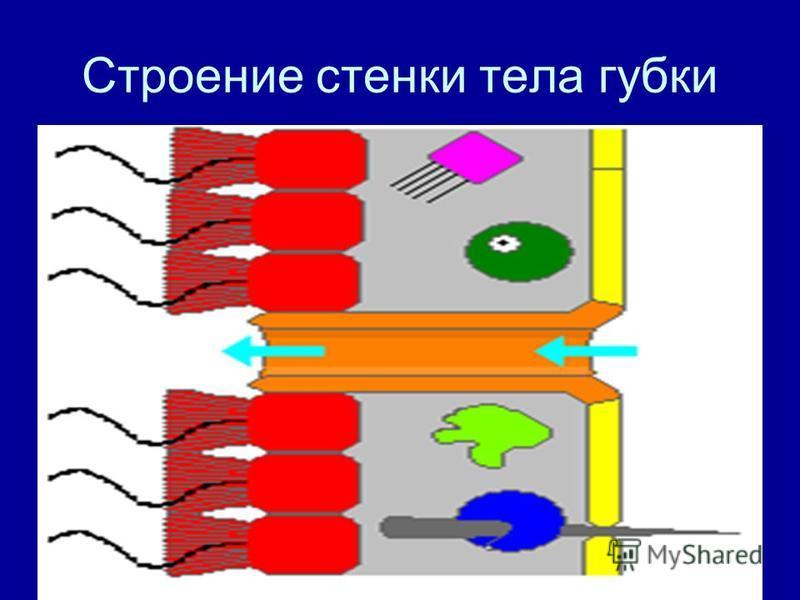 Строение стенки тела губки