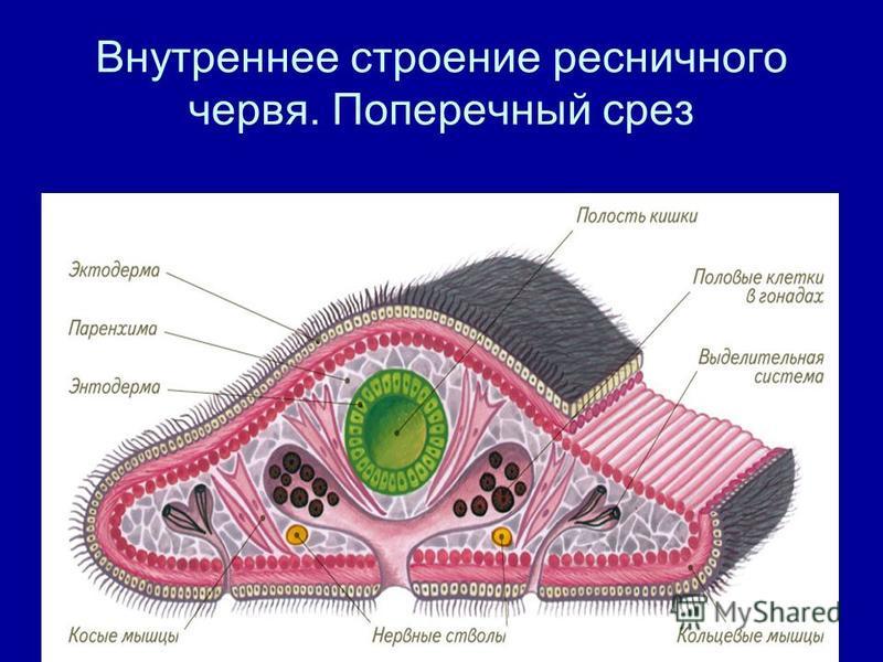 Внутреннее строение ресничного червя. Поперечный срез