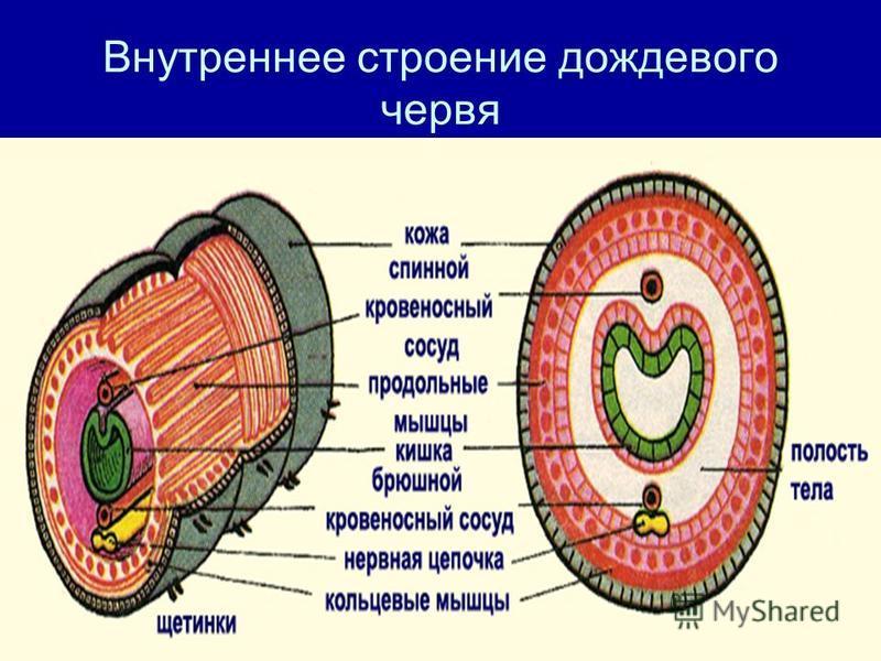Внутреннее строение дождевого червя