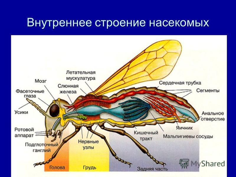 Внутреннее строение насекомых