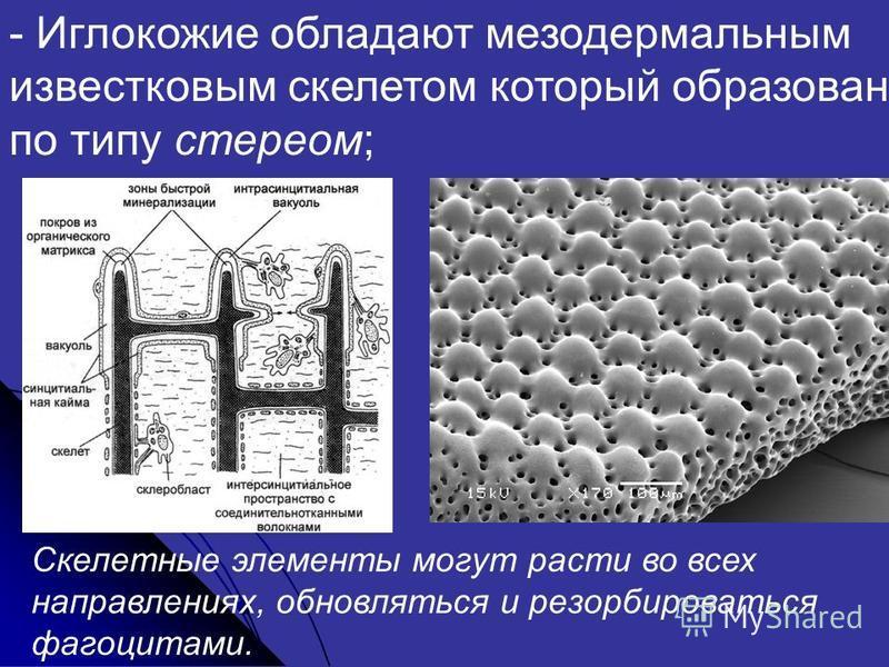 - Иглокожие обладают мезодермальным известковым скелетом который образован по типу стереом; Скелетные элементы могут расти во всех направлениях, обновляться и ресорбироваться фагоцитами.