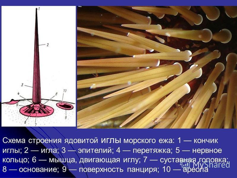 Схема строения ядовитой иглы морского ежа: 1 кончик иглы; 2 игла; 3 эпителий; 4 перетяжка; 5 нервное кольцо; 6 мышца, двигающая иглу; 7 суставная головка; 8 основание; 9 поверхность панциря; 10 ареола