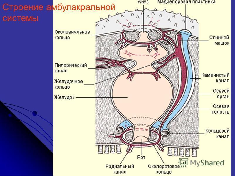 Строение амбулакральной системы