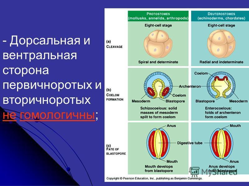 - Дорсальная и вентральная сторона первичноротых и вторичноротых не гомологичны;