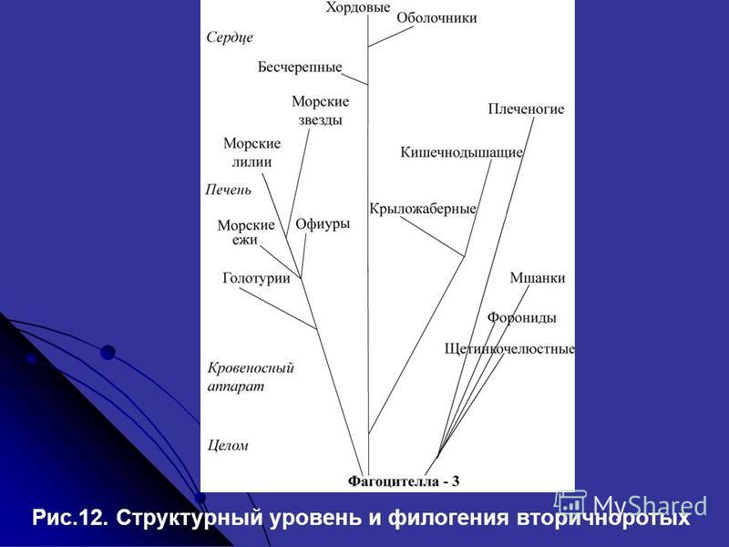 Рис.12. Структурный уровень и филогения вторичноротых