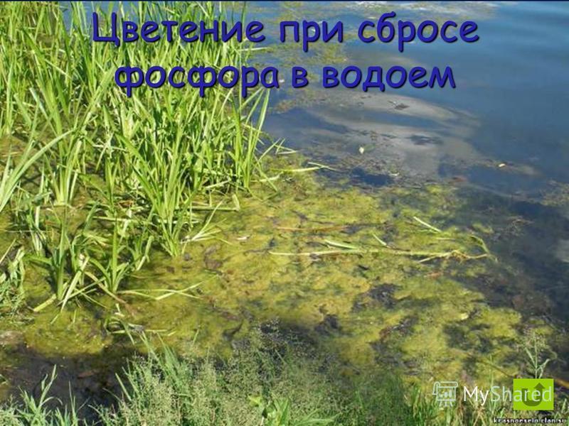 Цветение при сбросе фосфора в водоем