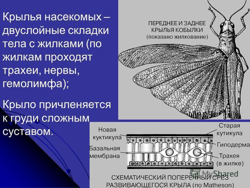 Крылья насекомых – двухслойные складки тела с жилками (по жилкам проходят трахеи, нервы, гемолимфа); Крыло причленяется к груди сложным суставом.