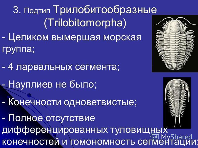 3. Подтип Трилобитообразные (Trilobitomorpha) - Целиком вымершая морская группа; - 4 ларвальных сегментта; - Науплиев не было; - Конечности одноветвистые; - Полное отсутствие дифференцированных туловищных конечностей и гомономность сегменттации;