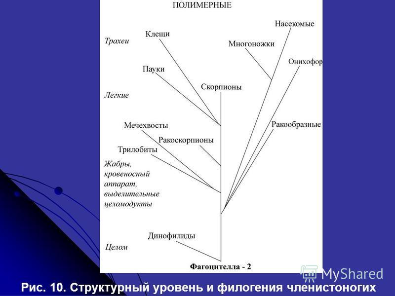 Рис. 10. Структурный уровень и филогения членистоногих