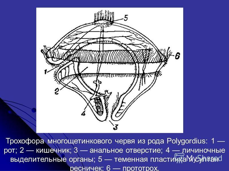 Трохофора многощетинкового червя из рода Polygordius: 1 рот; 2 кишечник; 3 анальнот отверстие; 4 личиночные выделительные органы; 5 теменная пластинка и султан ресничек; 6 прототрох.