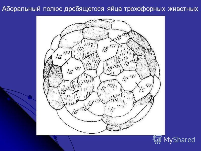 Аборальный полюс дробящегося яйца трохофорных животных