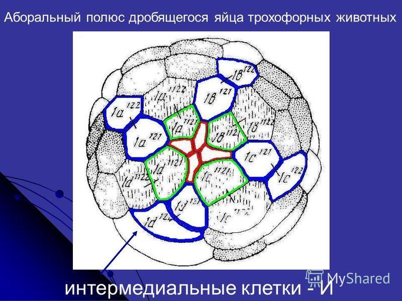 Аборальный полюс дробящегося яйца трохофорных животных интермодальные клетки - И
