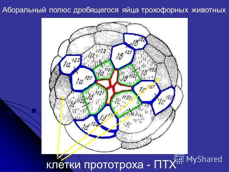 Аборальный полюс дробящегося яйца трохофорных животных клетки прототроха - ПТХ