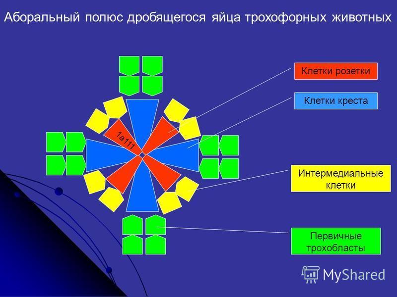 1 a111 Клетки розетки Клетки креста Интермедиальные клетки Первичные трофобласты Аборальный полюс дробящегося яйца трохофорных животных