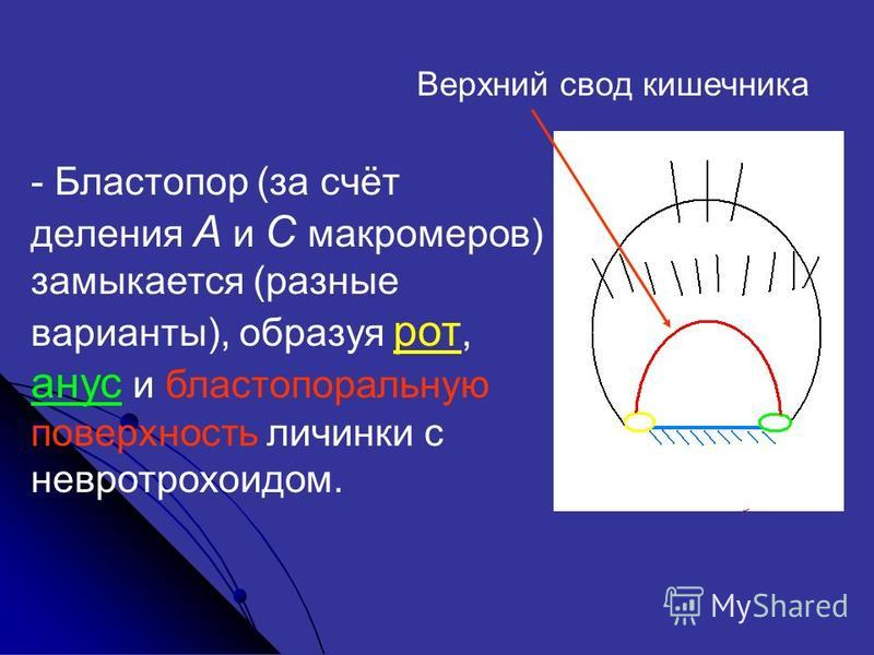 - Бластопор (за счёт деления А и С макромеров) замыкается (разные варианты), образуя рот, анус и бластопоральную поверхность личинки с невротрохоидом. Верхний свод кишечника