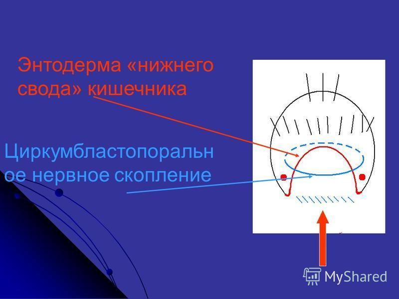 Энтодерма «нижнего свода» кишечника Циркумбластопоральн от нервнот скопление