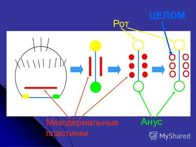 Рот Анус Мезодермальные пластинки ЦЕЛОМ