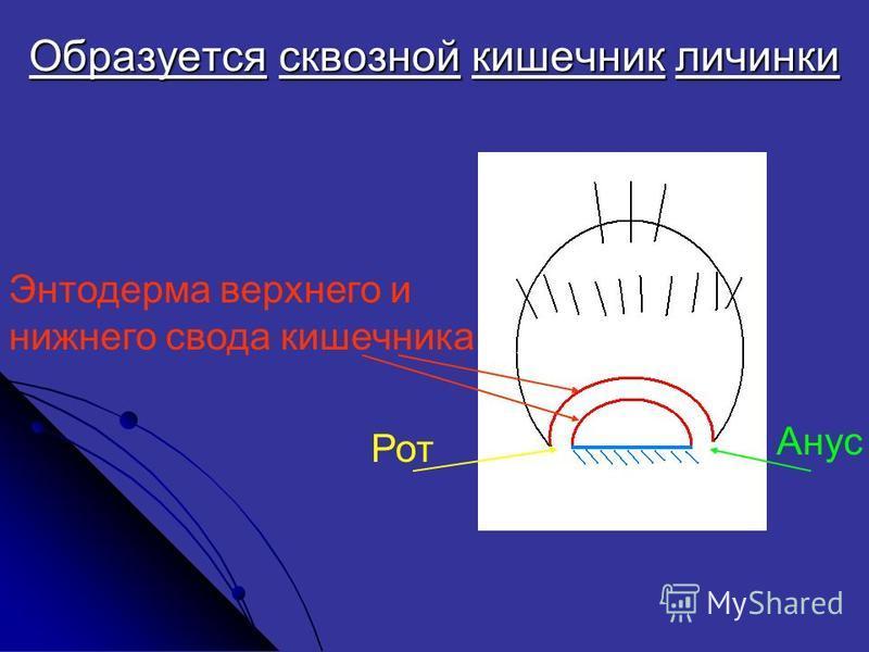 Образуется сквозной кишечник личинки Рот Анус Энтодерма верхнего и нижнего свода кишечника