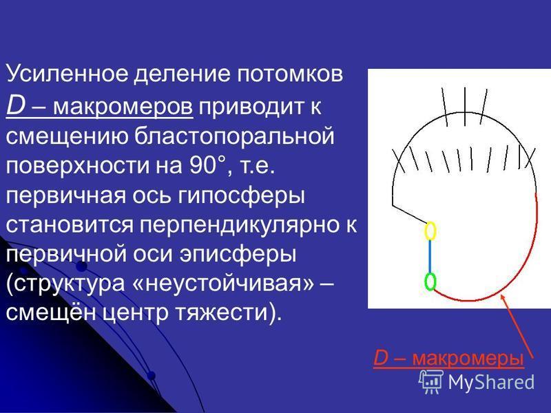 Усиленнот деление потомков D – макромеров приводит к смещению бластопоральной поверхности на 90°, т.е. первичная ось гипосферы становится перпендикулярно к первичной оси эпи сферы (структура «неустойчивая» – смещён центр тяжести). D – макромеры