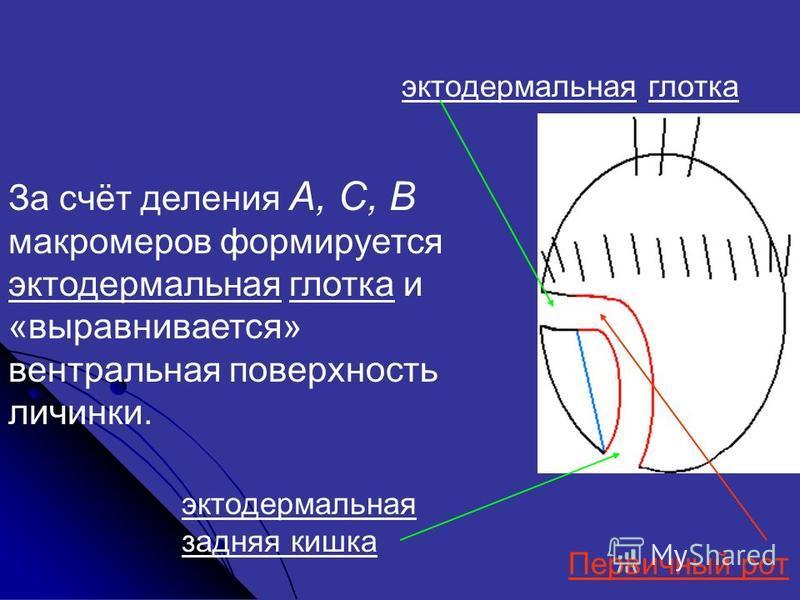 За счёт деления А, С, В макромеров формируется эктодермальная глотка и «выравнивается» вентральная поверхность личинки. Первичный рот эктодермальная глотка эктодермальная задняя кишка