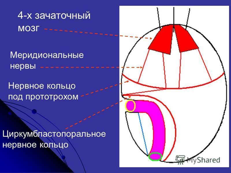 Меридиональные нервы 4-х зачаточный мозг Нервнот кольцо под прототрохом Циркумбластопоральнот нервнот кольцо